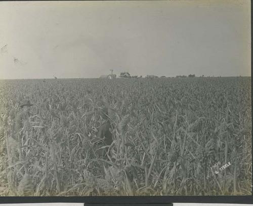 Three men in a field of kafir corn - Page