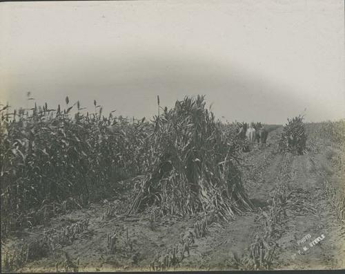 Harvesting kafir corn - Page