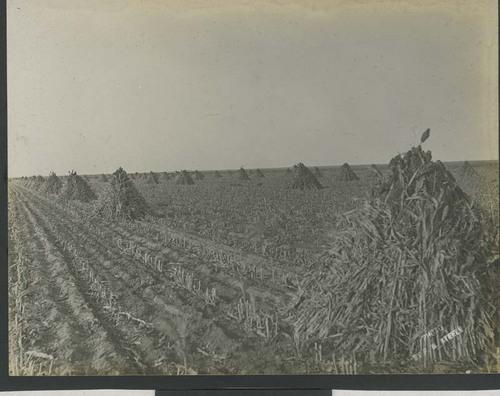 Shocks of kafir corn in a field - Page
