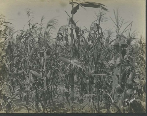 Farmer standing in a field of corn - Page