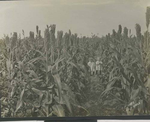 "View of twins Lorene (""Sis"") and Loring (""Pill"") Miner in a field of kafir corn on Dr. Miner's farm in Haskell County, 1912"