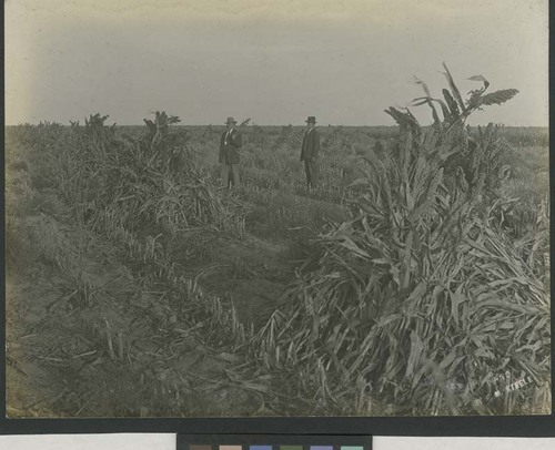 Two men in a field of harvested and shocked kafir corn - Page