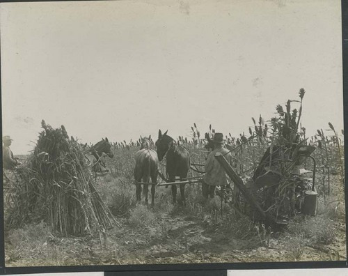 Harvesting, binding and stacking shocks of kafir corn in Haskell County, Kansas - Page