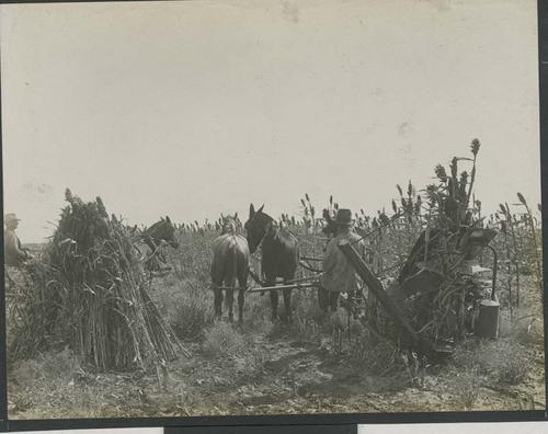 Harvesting, binding and stacking shocks of kafir corn in Haskell County, Kansas - Page