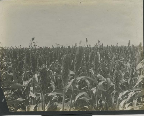 Farmer standing in a field of kafir corn - Page