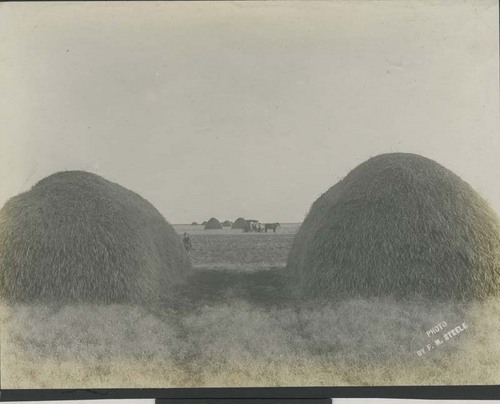 Wheat stacks in a field, Haskell County, Kansas - Page