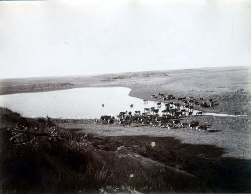 C. D. Perry's cattle near Englewood, Kansas - Page