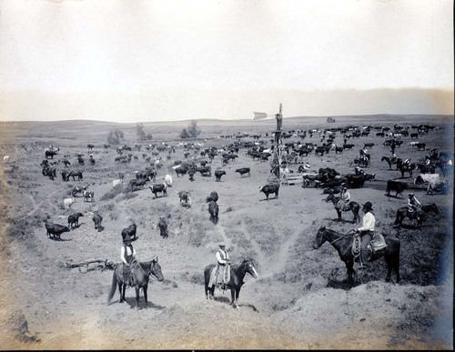 View of cattle belonging to Bradford Grimes near Ashland, between 1891 and 1912