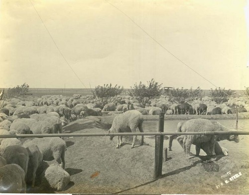Sheep at a man-made stock pond - Page