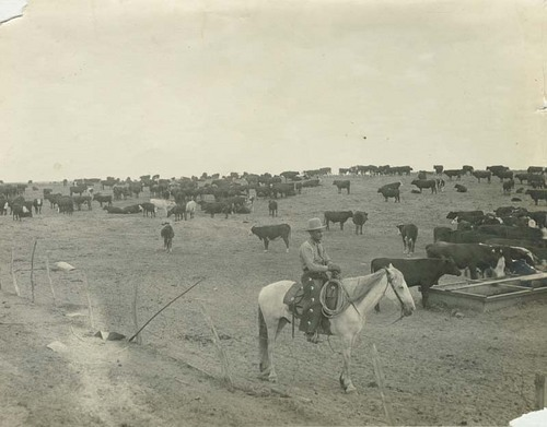 Cowboy on horseback with a herd of cattle - Page